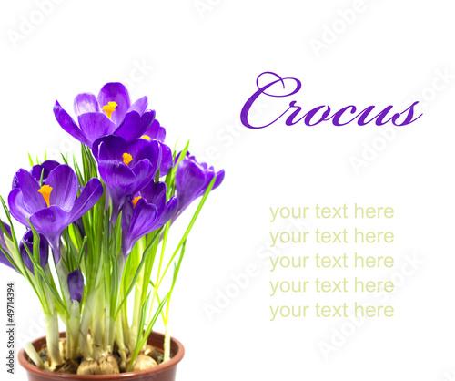 Foto op Aluminium Krokussen Early spring flower Crocus for Easter
