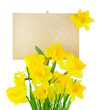 Narcissus ( Daffodil ) and Empty Sign for message / isolated
