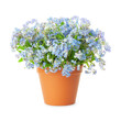 Forget-me-not flowers in pot isolated on white background