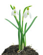 Snowdrops (Galanthus nivalis) on white background