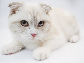 Front view of British shorthair cat, 7 months old
