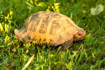 Turtle on sunset light in the grass