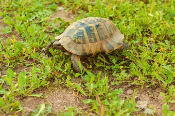 Turtle walking in the grass, side view