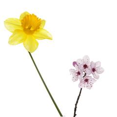 Flor de narciso y ciruelo.