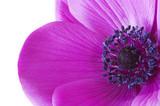Fototapety macro inside a purple anemone flower