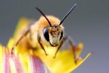 Fototapeta kwiat - miód - Insekt