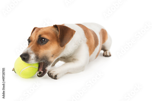 Dog is chewing yellow tennis ball