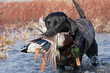 Leinwanddruck Bild - Black Lab with Mallard