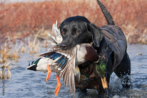 Black Lab with Mallard - 49732919