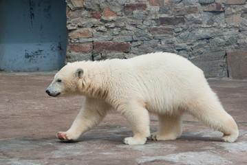 Polar bear (Ursus Maritimus) cub walks