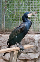 The great cormorant (Phalacrocorax carbo)