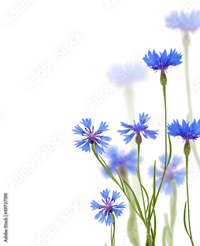 blue chicory flowers on white