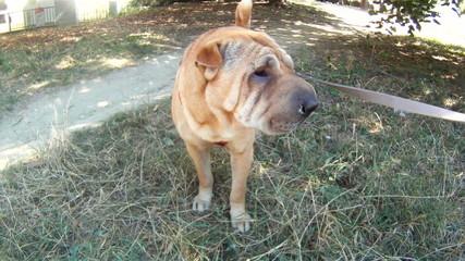 sharpei dog
