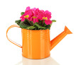 Beautiful pink primula in watering can, isolated on white