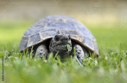 Testudo hermanni tortoiseon a white isolated background beach