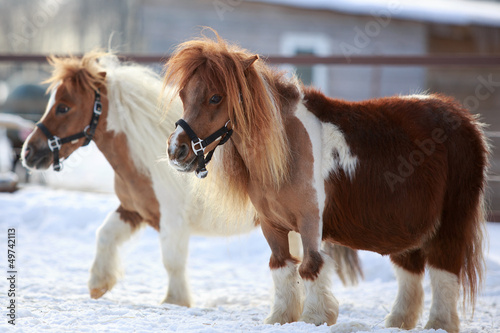 mini Horses at winter