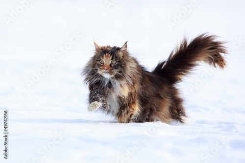Maine Coon cat in snow field