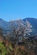 Almond blossom, Andalusia, Spain © Arena Photo UK