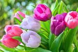 Fototapete Tulpe - Tulpen - Blume