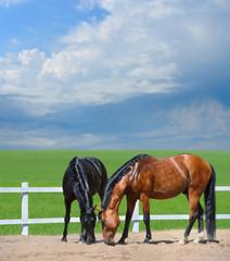 Two horses walk on manege