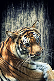 Tiger against grunge wall