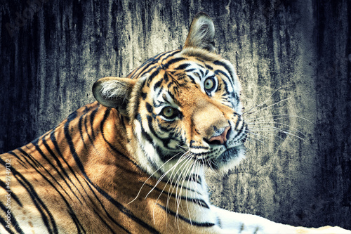 Foto op Canvas Tijger Tiger against grunge wall
