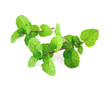Peppermint or mint bunch isolated on white background