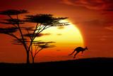 Fototapety kangaroo sunset australia