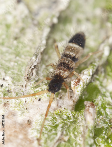 Springtail (Collembola) sitting on wood, extreme close-up