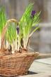 Frühlingskörbchen mit Krokussen