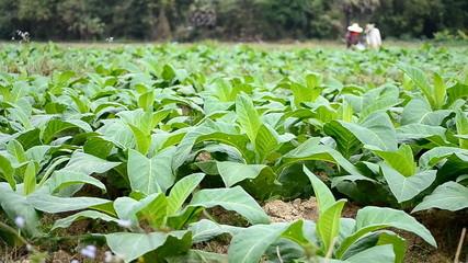 tobacco tree and farmer working in farm plants