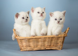 three white British kittens in basket