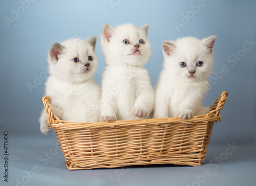 Fototapeta three white British kittens in basket