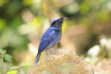 タイ北部の野鳥 オオアオヒタキ