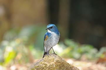 タイ北西部の野鳥 ヒマラヤルリビタキ