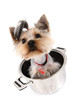 small yorkie dog in the pot