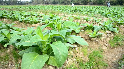 tobacco farm and farmer working plants
