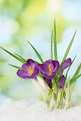 Beautiful purple crocuses on snow, on green background