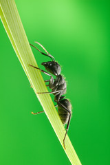 Ant climb on blade of grass