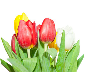 Fresh tulips isolated on a white
