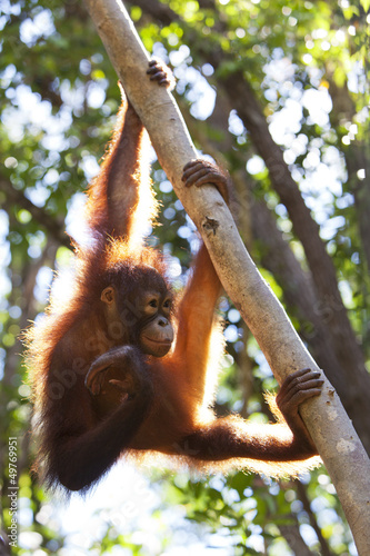 Orangutan climbing a tree, Borneo.