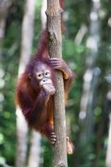 Cute young Orangutan in a tree, Borneo.