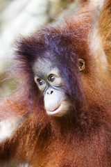 Cute baby Orangutan in Borneo.