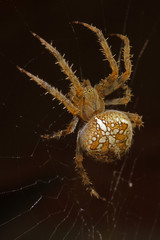 Gartenkreuz Spinne