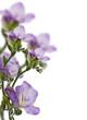Postcard with lilac freesia