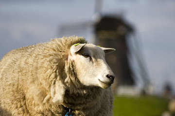 A sheep and an old windmill, Holland