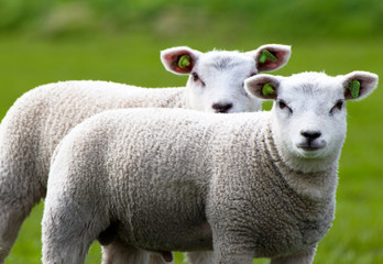 Close-up of two lambs