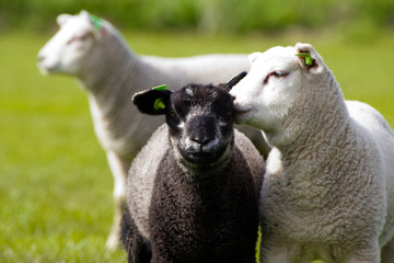 Close-up of a black and white sheep