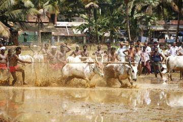 bull chase