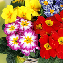 Pierwiosnki, czerwony i żółty bicolor